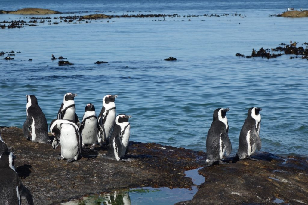 Penguins near the Cape of Good Hope